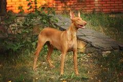 Cão do faraó Fotografia de Stock