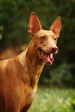 Cão do faraó Fotografia de Stock Royalty Free
