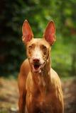 Cão do faraó Foto de Stock