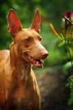 Cão do faraó Foto de Stock Royalty Free