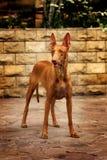 Cão do faraó Imagem de Stock