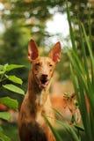 Cão do faraó da raça do cão Foto de Stock