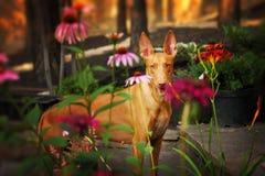 Cão do faraó nas flores Fotos de Stock