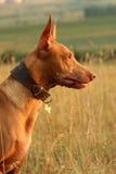 Cão do faraó no perfil Foto de Stock