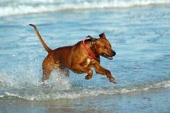 Cão do feriado Foto de Stock Royalty Free
