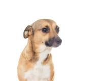 Cão do focinho no fundo branco Fotos de Stock