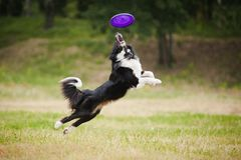 Cão do Frisbee Fotografia de Stock