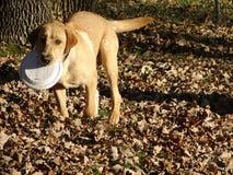 Cão do Frisbee na queda fotografia de stock