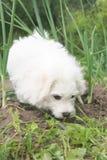 Cão do frise de Bichon Foto de Stock