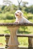Cão do frise de Bichon imagem de stock