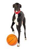 Cão do galgo, 18 meses velho, com um basquetebol Fotos de Stock