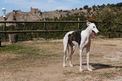 Cão do galgo imagens de stock