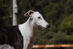 Cão do galgo Imagens de Stock Royalty Free