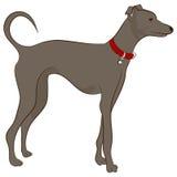 Cão do galgo Fotografia de Stock Royalty Free
