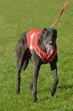 Cão do galgo foto de stock royalty free