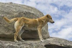 Cão do gengibre Imagem de Stock