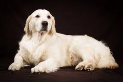 Cão do golden retriever do puro-sangue no fundo marrom Imagens de Stock Royalty Free