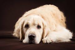 Cão do golden retriever do puro-sangue no fundo marrom Imagem de Stock Royalty Free