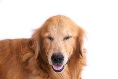 Cão do golden retriever do sorriso isolado Fotos de Stock