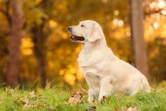 Cão do golden retriever na natureza um o dia do outono Imagens de Stock