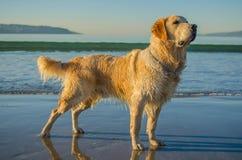 Cão do golden retriever na praia imagens de stock royalty free