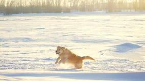 Cão do golden retriever que aprecia o inverno que joga o salto na neve no dia ensolarado Imagens de Stock Royalty Free