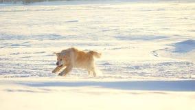 Cão do golden retriever que aprecia o inverno que salta na neve em um dia ensolarado Imagens de Stock Royalty Free