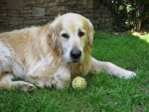 Cão do golden retriever que encontra-se com a bola de tênis no gramado imagens de stock