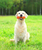 Cão do golden retriever que joga com o brinquedo de borracha do osso na grama Imagem de Stock Royalty Free