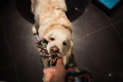 Cão do golden retriever que playning com um homem fotos de stock