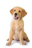Cão do golden retriever que senta-se no assoalho, isolado no CCB branco imagem de stock royalty free