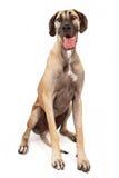 Cão do grande dinamarquês fotos de stock royalty free
