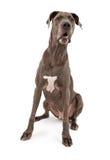 Cão do grande dinamarquês imagem de stock