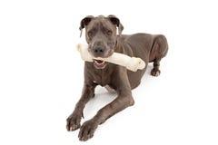 Cão do grande dinamarquês com grande osso fotografia de stock