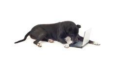 Cão do grande dinamarquês usando o portátil Fotografia de Stock