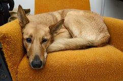 Cão do híbrido de Brown que encontra-se na cadeira alaranjada fotografia de stock royalty free