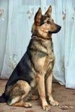Cão do híbrido do pastor Foto de Stock Royalty Free
