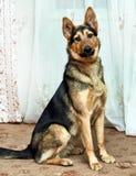 Cão do híbrido do pastor Foto de Stock