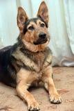 Cão do híbrido do pastor Imagem de Stock Royalty Free
