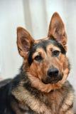 Cão do híbrido do pastor Fotografia de Stock Royalty Free