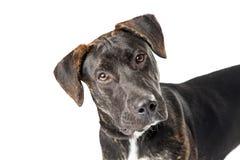 Cão do híbrido do perdigueiro do retrato do close up imagens de stock