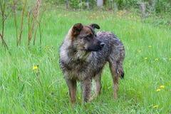 cão do híbrido que fica apenas na grama imagens de stock