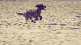 Cão do híbrido que joga e que corre na praia Foto de Stock Royalty Free