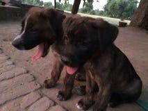 Cão do indiano dois na rua Imagens de Stock
