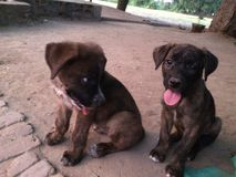 Cão do indiano dois na rua Foto de Stock Royalty Free