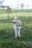 Cão do inu de Akita Imagem de Stock