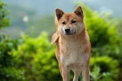 Cão do inu de Shiba imagens de stock