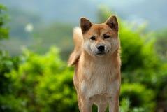 Cão do inu de Shiba Fotografia de Stock Royalty Free