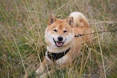 Cão do inu de Shiba que descansa em um campo no dia de verão quente Fotos de Stock