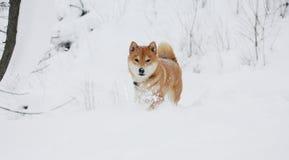 Cão do inu de Shiba que joga na neve Fotos de Stock
